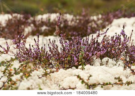 White reindeer moss and flowering heather in summer tundra. Norway