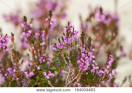 Flowering pink heather (calluna) close-up, forest, summer