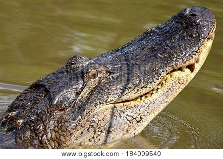 Alligator in New Orleans swamp Louisiana USA