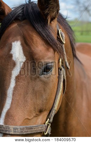 Closeup head and eye of a thoroughbred horse