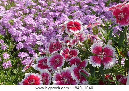 Bright pink and white flowers with scalloped petals in front of a bed of purple phlox.