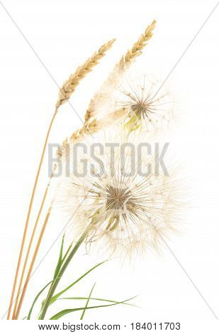 Yellow dandelions and ears on a white background.