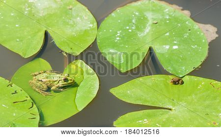 Two Green Little Frogs