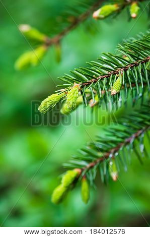 Branch of spruce with sprouts in spring time close-up