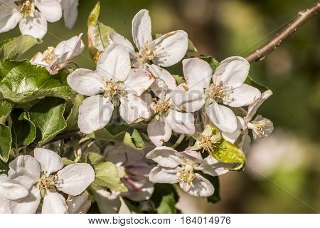 Spring blossoms beautiful flowers on the apple tree in nature