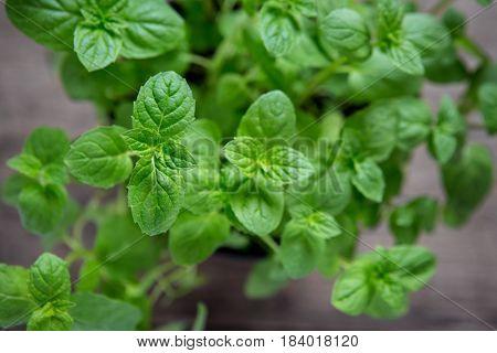 Pedilanthus Tithymaloides, Nana, Green Devil's Backbone or Mint close up