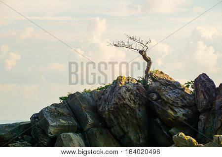 Die lonely tree on rocks and sea with fluffy clouds in evening sky.