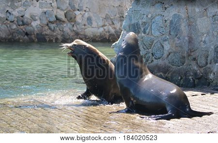 Male California Sea Lions fighting for dominance on the marina boat launch in Cabo San Lucas Baja Mexico BCS MEX