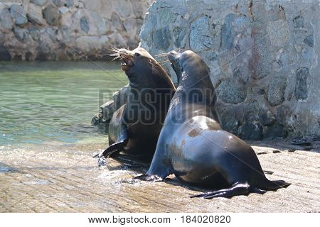 Male California Sea Lions fighting on the marina boat launch in Cabo San Lucas Mexico