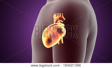3d illustration human body heart of a human body part