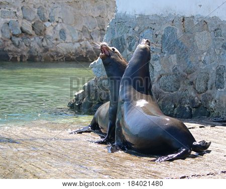 Male California Sea Lions fighting and posturing on the marina boat launch in Cabo San Lucas Baja Mexico BCS MEX