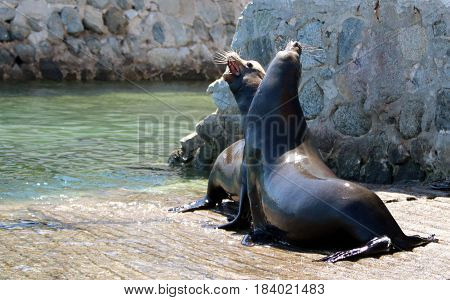 Male California Sea Lions fighting over territory and food on the marina boat launch in Cabo San Lucas Baja Mexico MEX