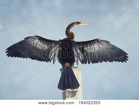 Anhinga spreads its wings