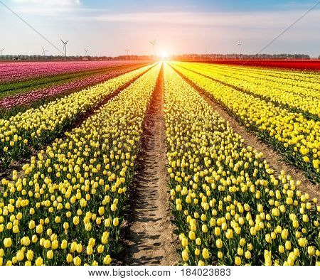 Beautiful sunset above the field of tulips