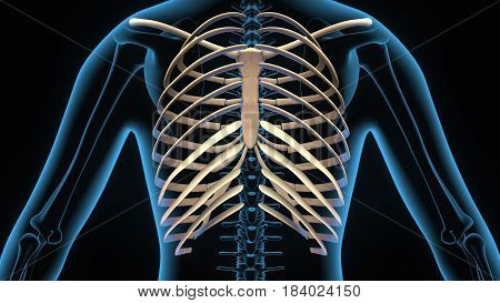 3d illustration human body ribs cage of a human body parts