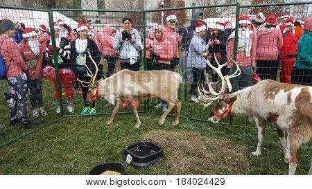 Rudolph Ramble race, Reindeer in enclosure, Chicago, December 3rd, 2016