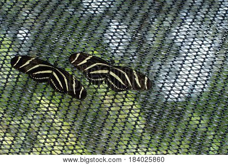 Zebra Longwing - Pair of yellow and black patterning butterflies found in southern Florida