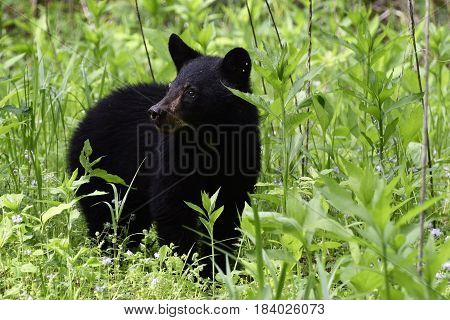 Baby Black Bear Cub looking for Mom Bear.