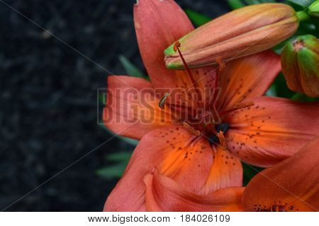 Orange Asiatic Lilly bloom with a bud