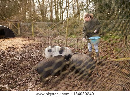 Man Feeding Pigs in a Pig Pen Shot Through Wire Fence
