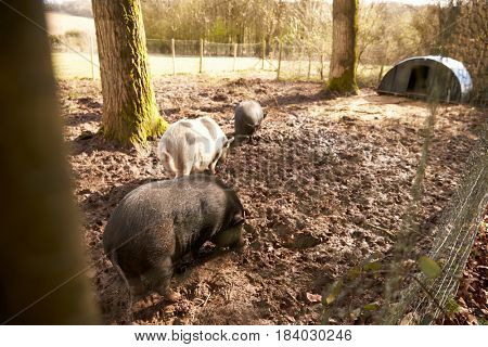 Large Pigs in a Pig Pen
