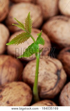 Sprout of young walnut on the rind background