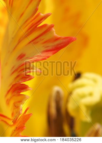 Extreme abstract close up of garden tulip