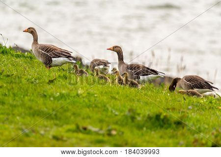 Close view on the group of greylag geese
