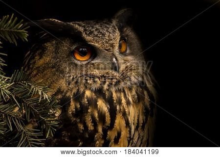 Portrait eurasian eagle-owl. Night bird from nature. Big owl is looking for you.