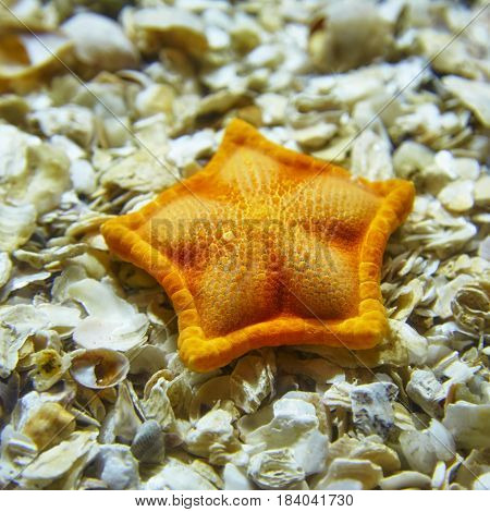 An orange starfish lying on shells in the Istanbul aquarium Turkey