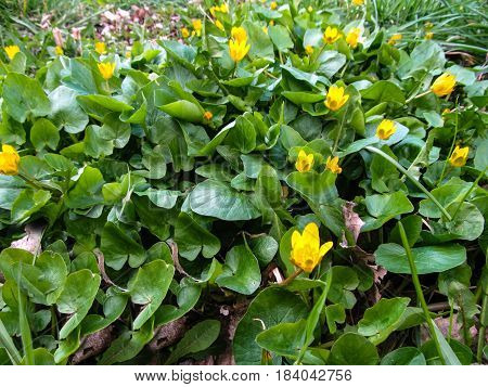 Marsh marigold. Early Spring Yellow small flowers with large green leaves similar to water lilies