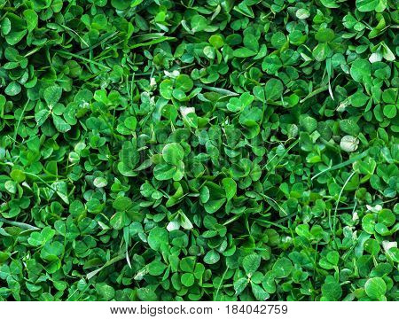 Natural Seamless background of trefoils top view. Bright green Texture of the Solitary blades of grass between a Clover leaves