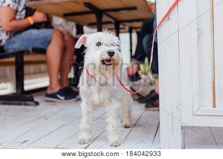 Scottish Terrier Under The Table