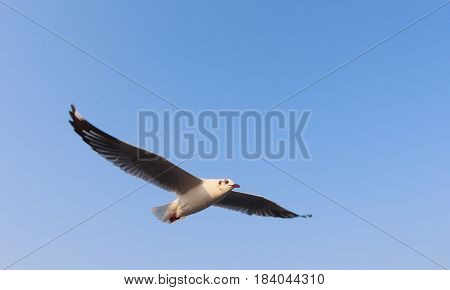 This is a picture of seagull fly in the sky which was taken in Samutprakarn Thailand