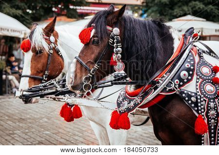Krakow Poland - 19th October 2016. Closeup of a pair of horses in Krakow's main square used for pulling traditional horse-drawn carriages in the town centre.