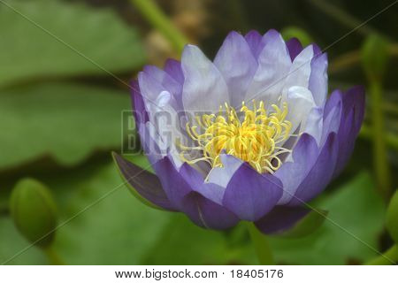 Water lily with green leaves