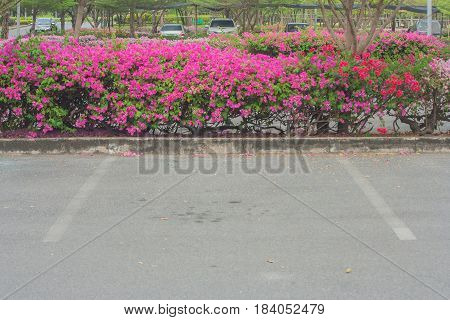 Empty space in parking lot at public park with beautiful pink flower background.