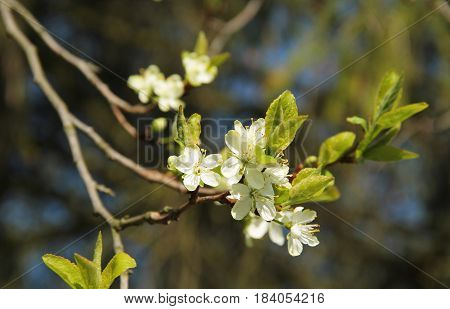twig of plum tree with beautiful fragile white blossoms