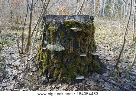 Old pine stump with green moss lichen and polypore in Siberian taiga forest in spring