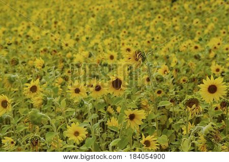 Field filled with blooming sunflowers on a spring day
