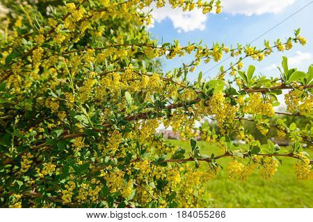 Flowering barberry with a lot of yellow flowers