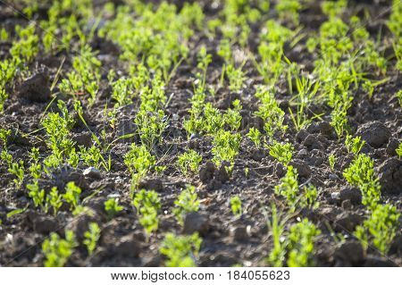 Lentil plant that glows with the coming of spring, green lentil field that starts to bloom