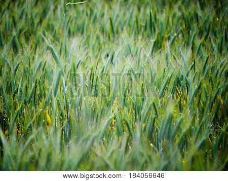 Long green grass blowing in the wind