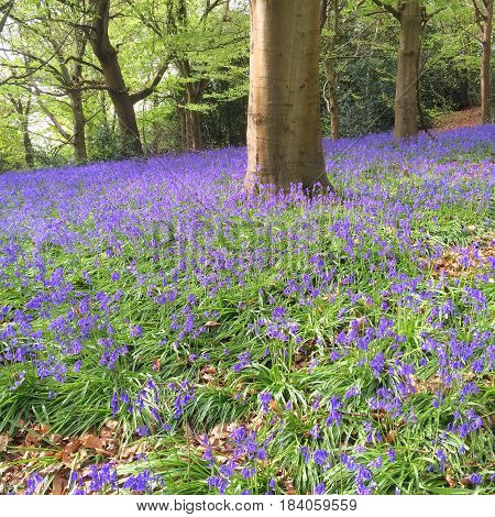 Bluebell flowers cover the ground in an area of woodland in springtime
