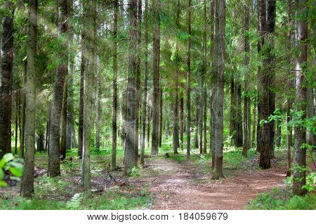 Coniferous forest in the early morning in sun beams