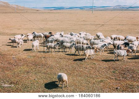 A Herd Sheep Feeding On The Grassland Against Hills And Mountains, Inner Mongolia,china