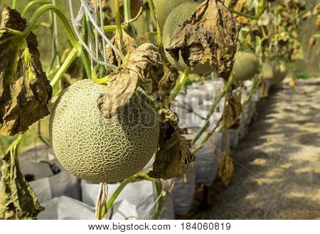 Fresh melon grown in greenhouses insect protection / melon farm fresh / melon fruit organic non-toxic.