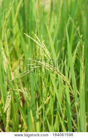 Close up of green paddy rice. Green ear of rice in paddy rice field