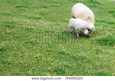 Sheep grazing in a field next to her calves babies
