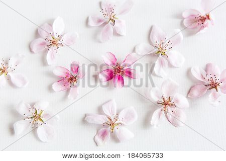 top view on white background filling with sacura flowers. Concept of love. hi key spring pattern. Dof on sacura flower.Concept of love. Flat lay.